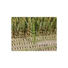 Maïsplanten Groen